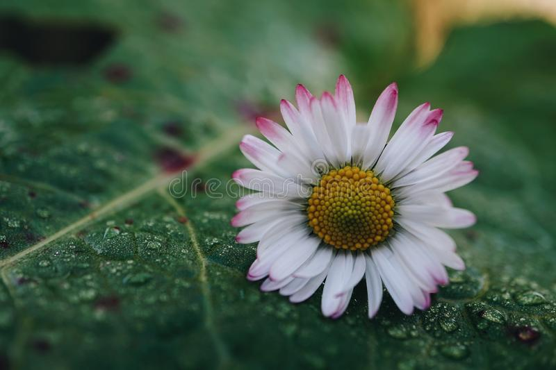 Daisy flower plant in the garden in summer. Daisies in the nature stock photo