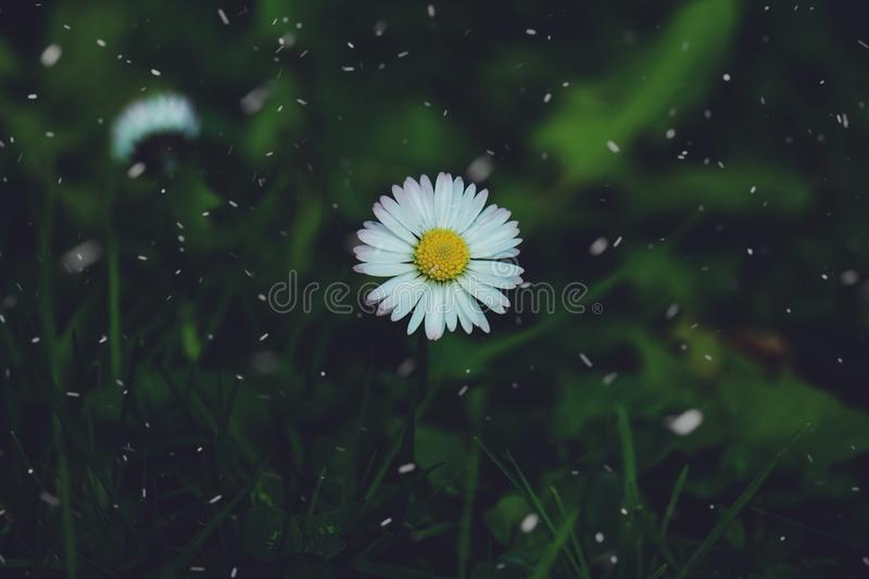 Daisy flower plant in the garden in summer. Daisies in the nature stock photography