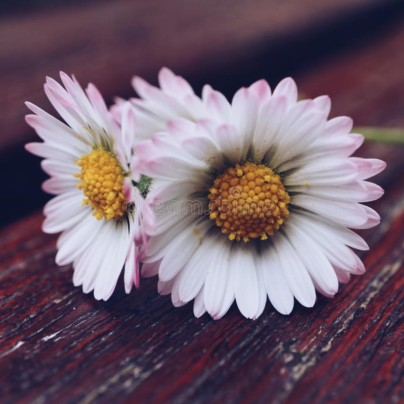 Daisy flower plant in the garden in summer. Daisies in the nature stock images