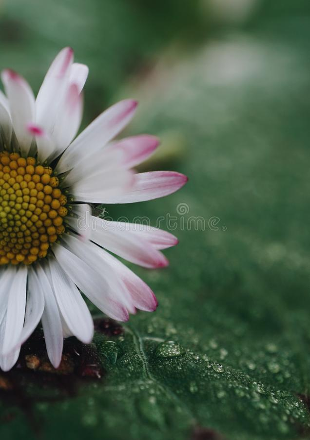 Daisy flower plant petals royalty free stock images