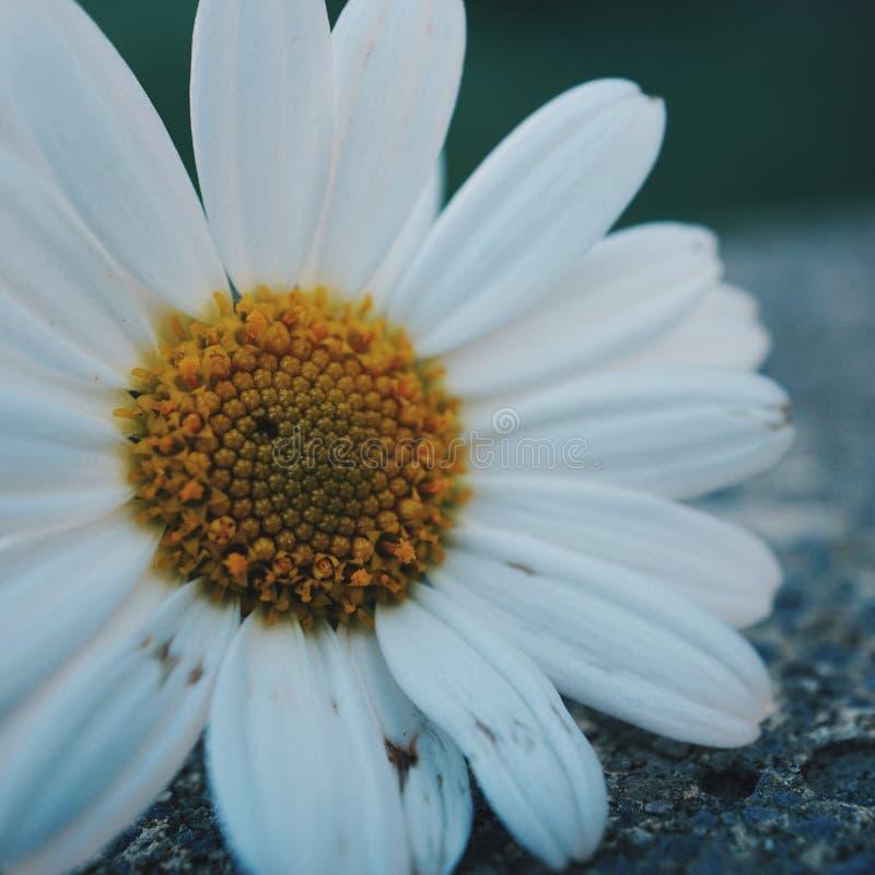Daisy flower plant petals stock photo