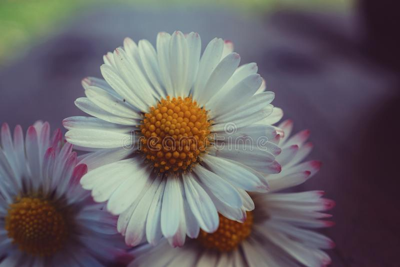Daisy flower plant petals royalty free stock photos