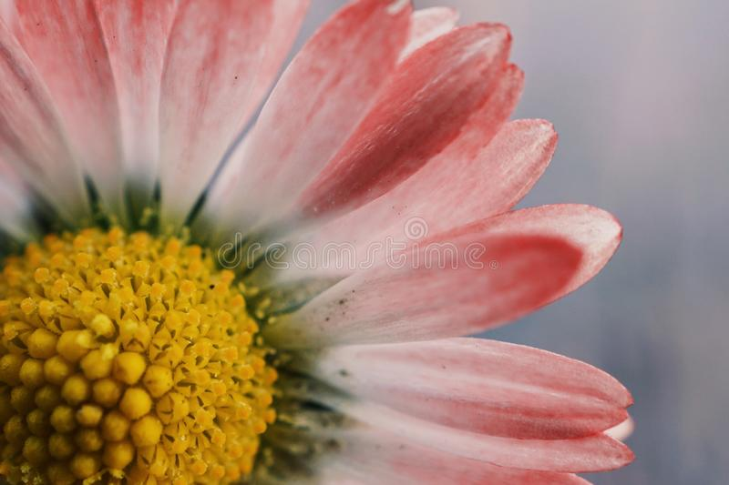Daisy flower plant petals stock photography