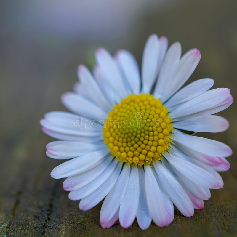 Daisy flower plant petals in springtime royalty free stock images