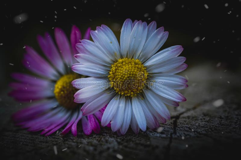 Daisy flower plant petals in springtime. In the nature in the garden royalty free stock images
