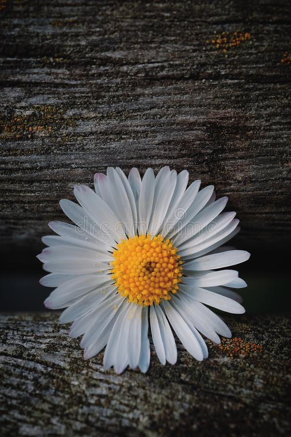 Daisy flower plant petals in springtime. In the nature in the garden stock image