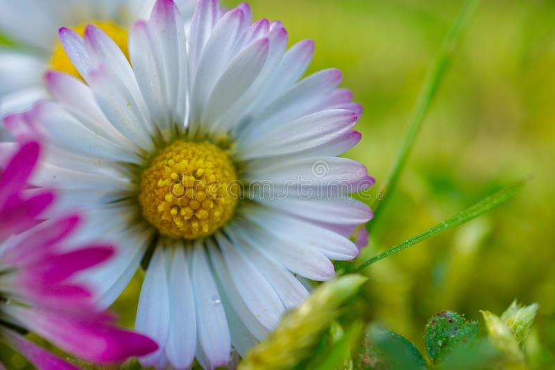 Daisy flower plant petals in springtime. In the nature in the garden stock photography