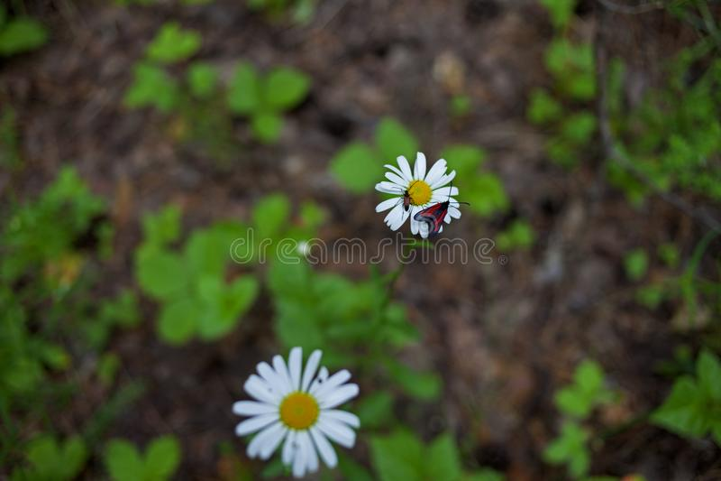 Daisy flower in Russian forest royalty free stock image