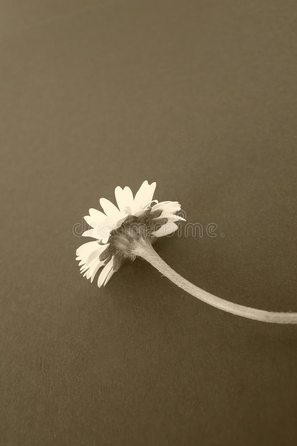 Daisy flower, sepia. Daisy flower isolated on dark background, sepia colors *with space for text (copyspace) **suitable for cards, greetings and posters for royalty free stock image