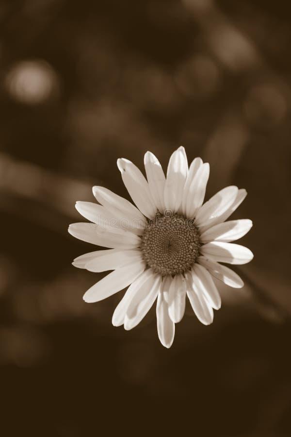 Daisy Flower Sepia imagem de stock royalty free