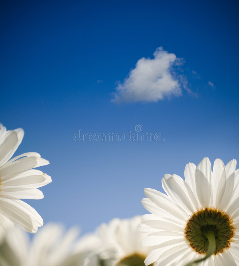 Daisy flower in spring stock photo