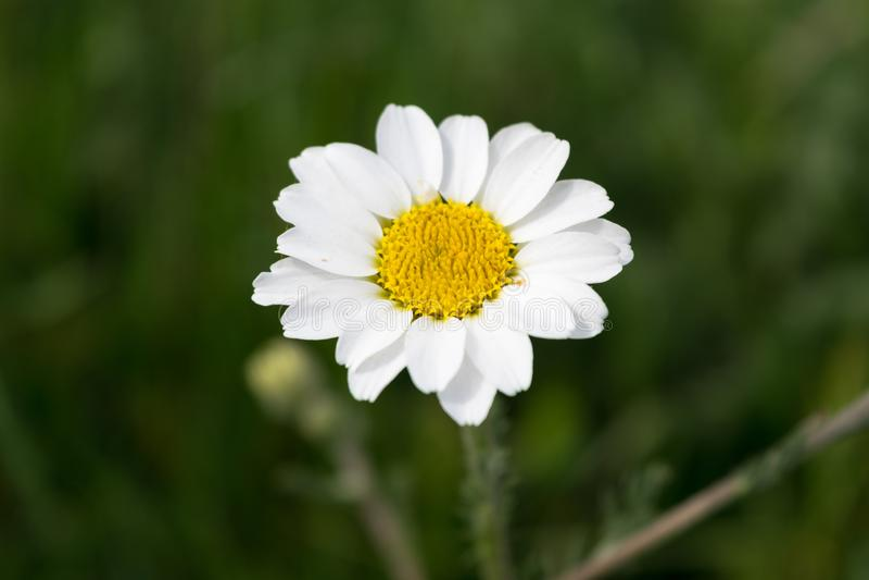Daisy flower in springtime royalty free stock photos