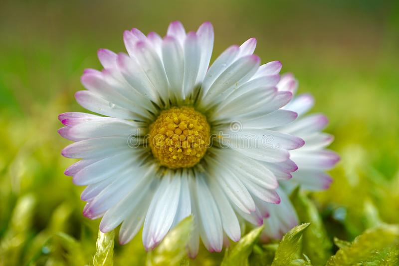 Daisy flower in springtime royalty free stock image