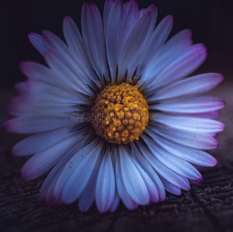Daisy flower in springtime royalty free stock photography