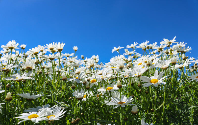 The daisy flower symbolizes innocence, a loyal love and gentleness. Daisy flower is a powerful healing herb that works great and stock image