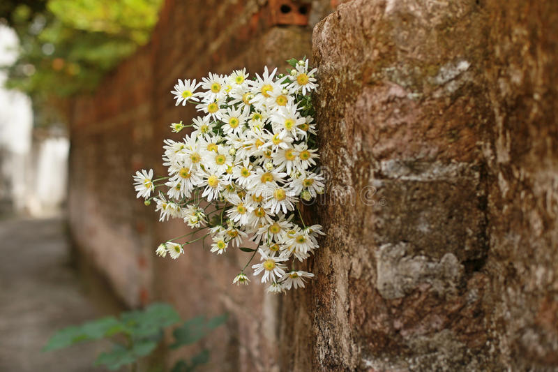 Daisy flower on the wall stock photos