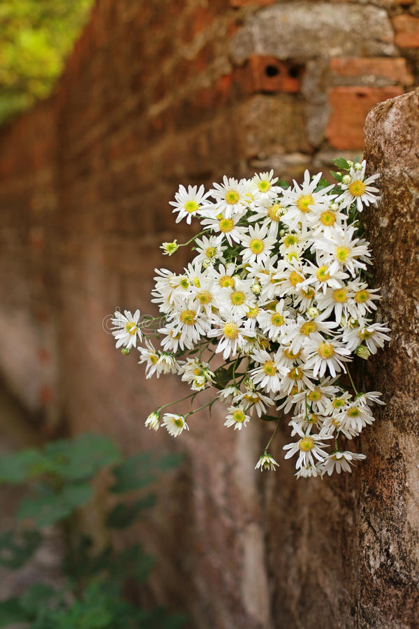 Daisy flower on the wall stock image