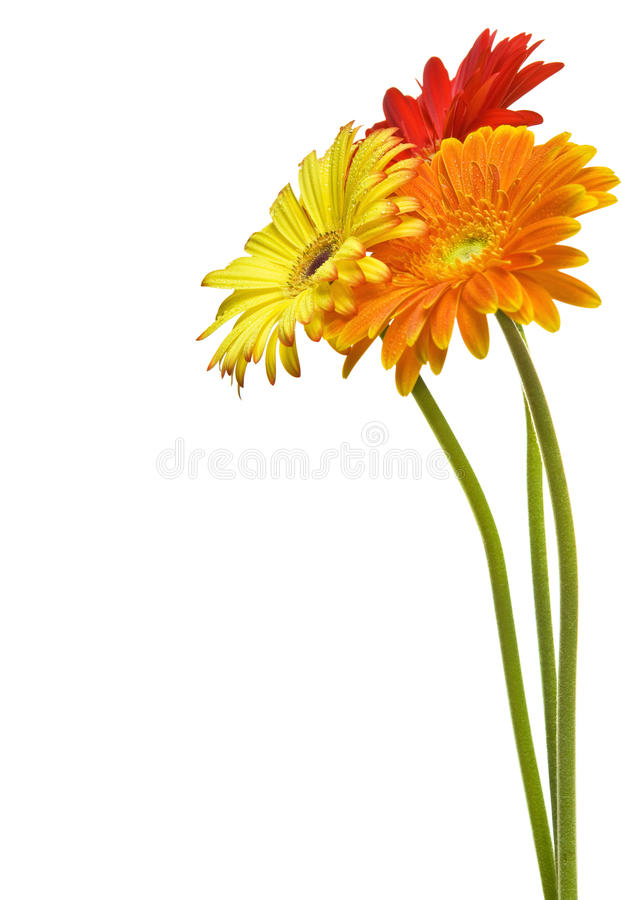 Daisy flowers. Red yellow and orange daisy flowers on white background royalty free stock photo