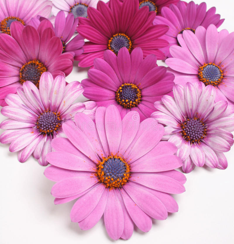 Daisy flowers. Purple and rose daisy flowers royalty free stock photos