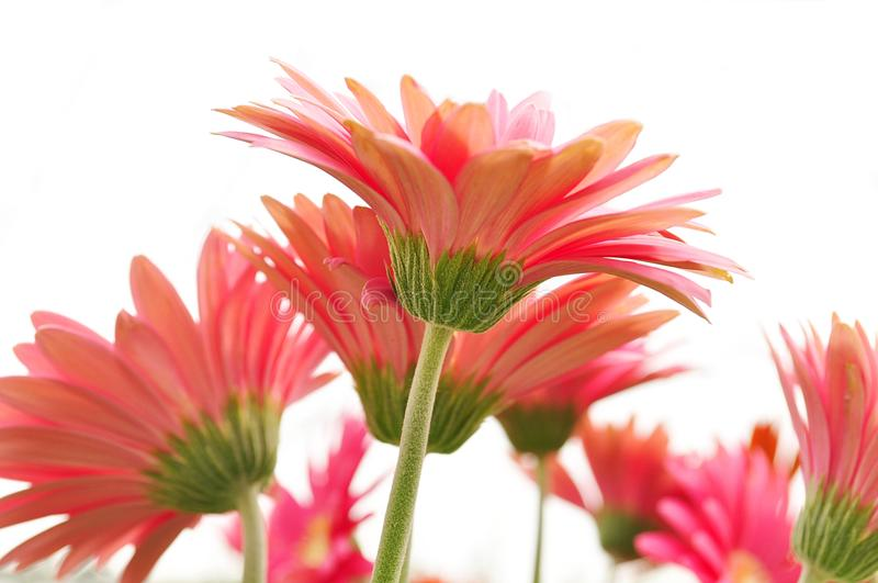 Daisy flowers. Pink daisy flowers isolated on white stock photos