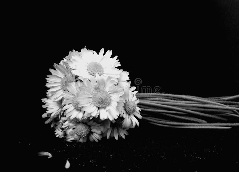 Daisy flowers royalty free stock photo