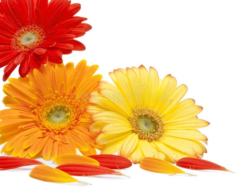 Daisy flowers. Red yellow and orange daisy flowers on white background stock photo