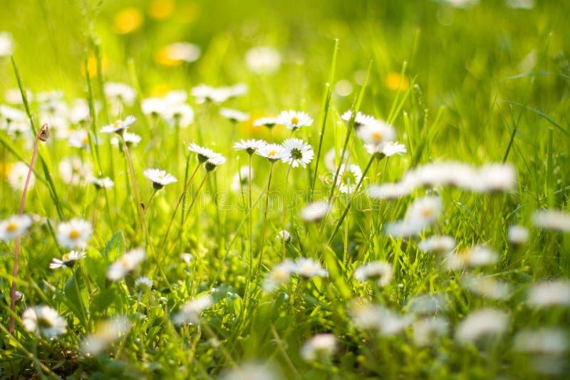 Daisy flowers. Small garden jungle of daisy flowers royalty free stock photography