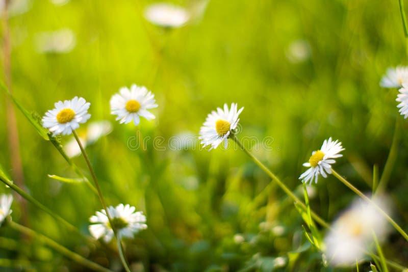 Daisy flowers. Beautiful closeup view of daisy flowers royalty free stock image