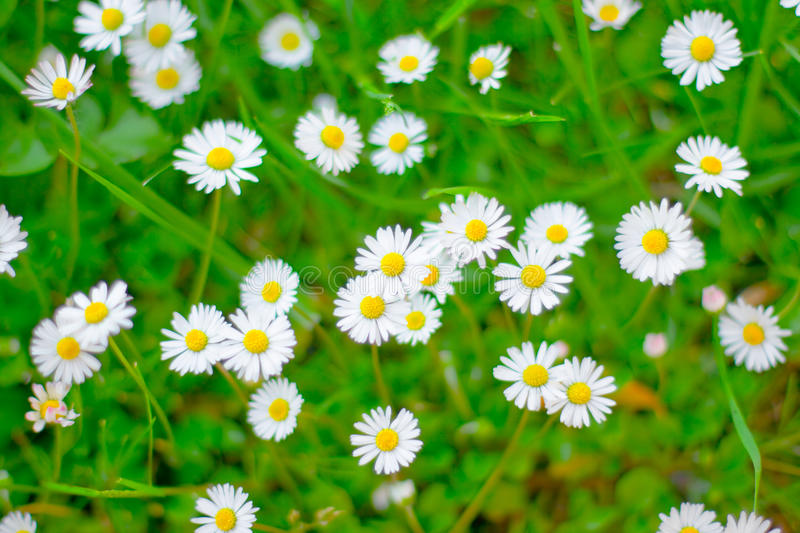 Daisy flowers. Closeup top view of daisy flowers royalty free stock photography