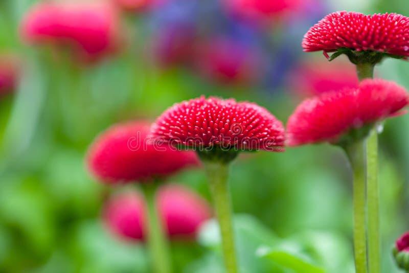 Daisy Flowers royalty-vrije stock fotografie