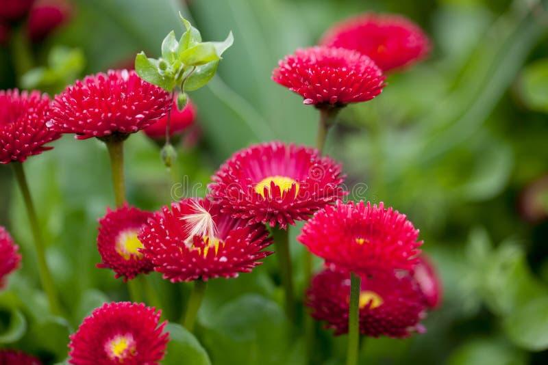 Daisy Flowers royalty-vrije stock afbeeldingen