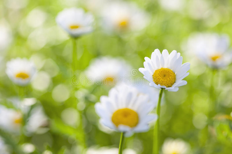 Download Daisy Flowers stock photo. Image of focus, depth, nobody - 29159826