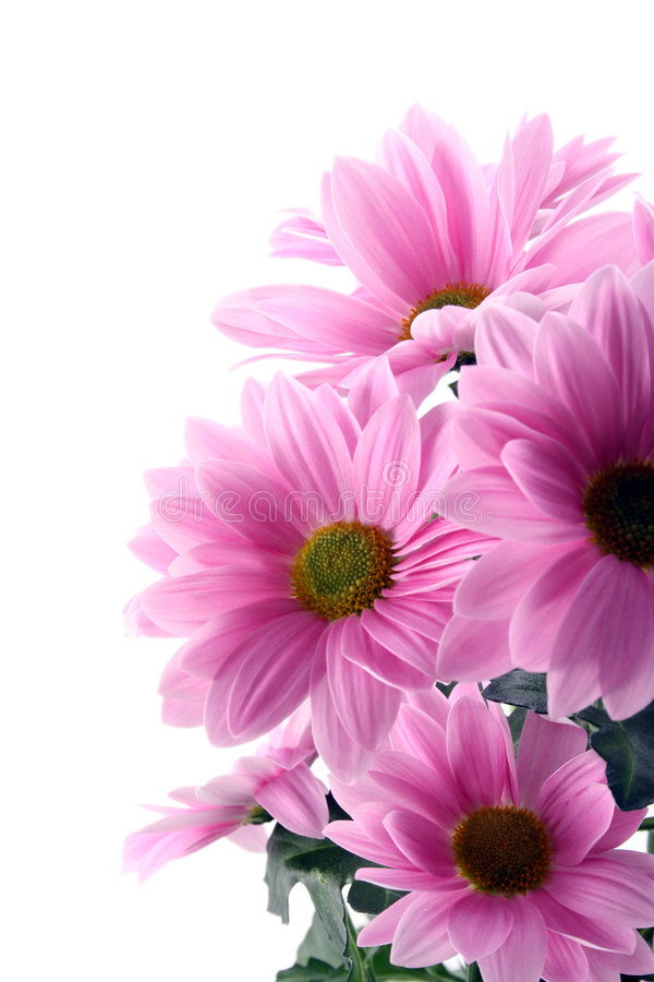 Download Daisy flowers stock photo. Image of springtime, blossom - 4295782