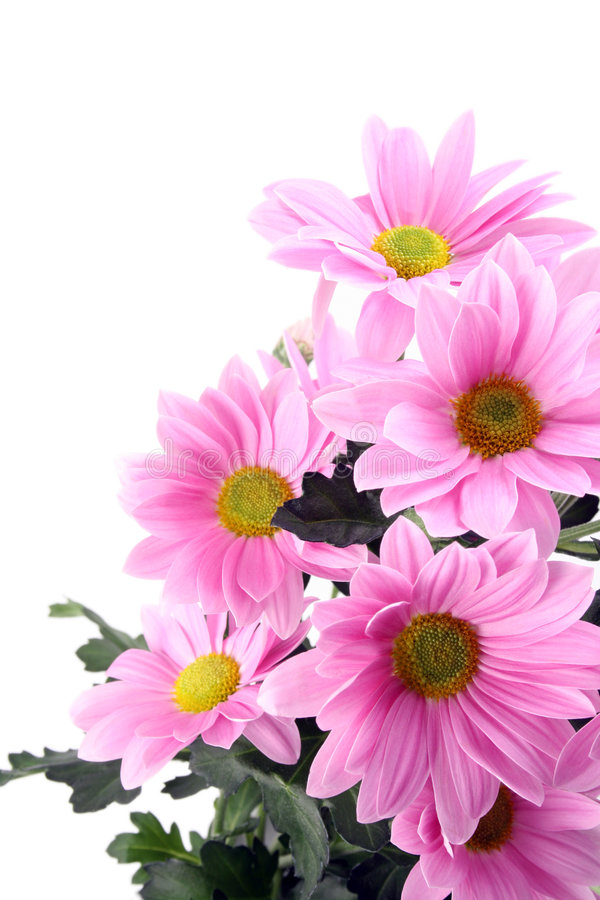 Daisy flowers. Pink daisy flowers isolated on white - close-ups stock photo
