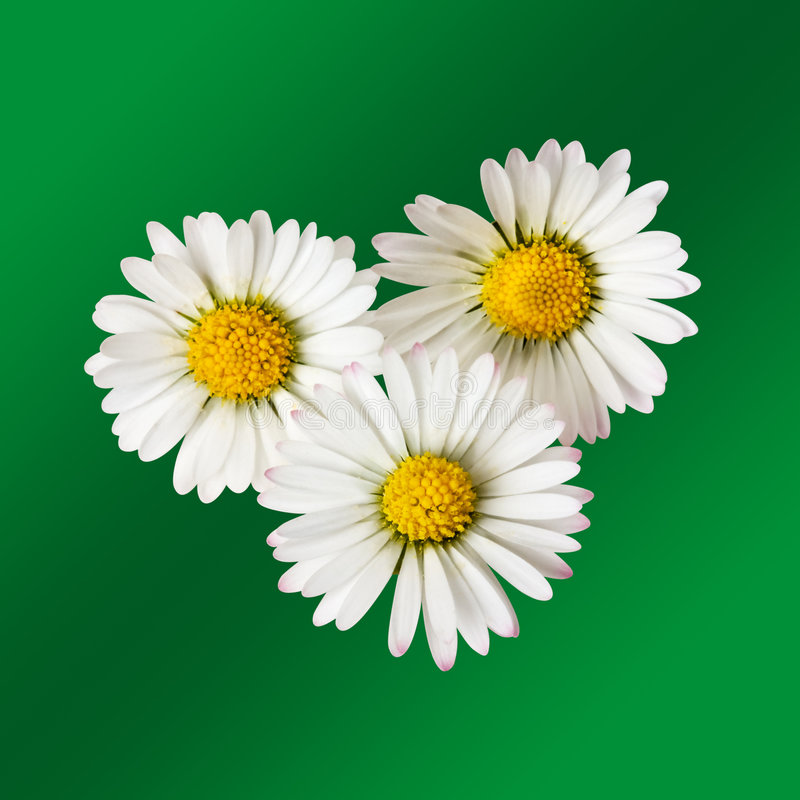 Download Daisy flowers stock image. Image of summer, white, close - 5209107