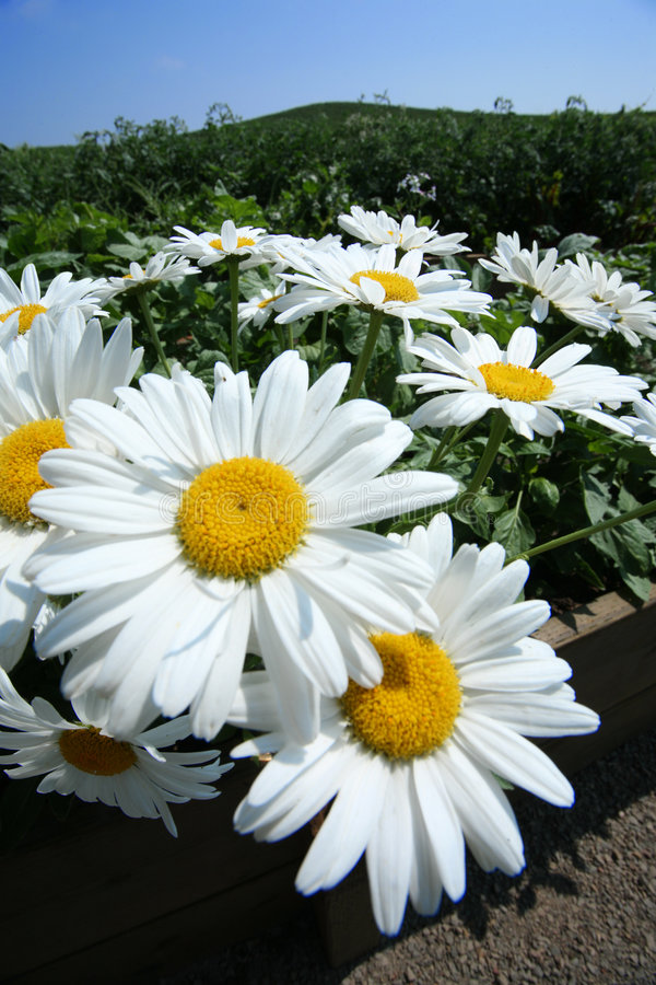 Daisy flowers. Wide angle close-up stock photos