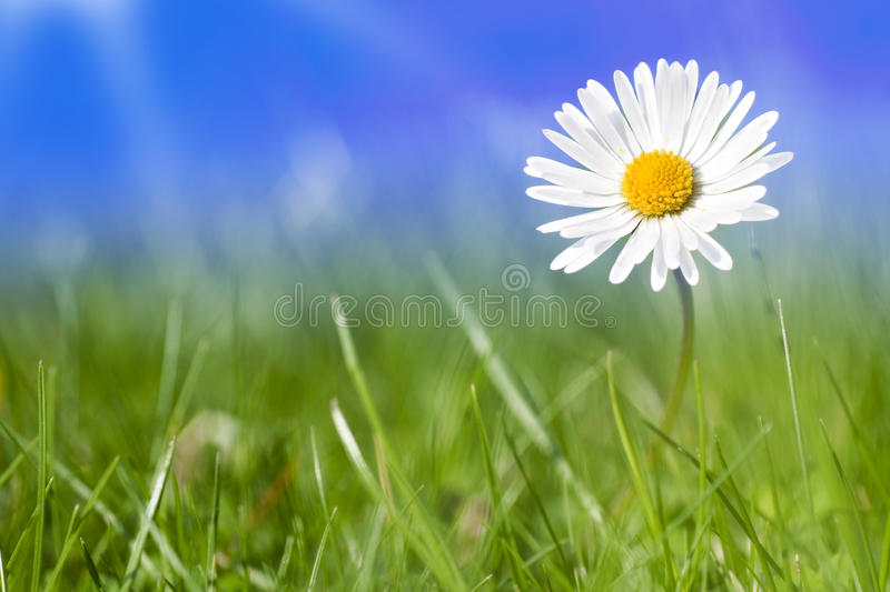 Daisy flowers alone. With blue sky and sunlight stock images