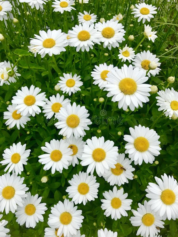 Download Daisy flowers background stock image. Image of plant - 107534933