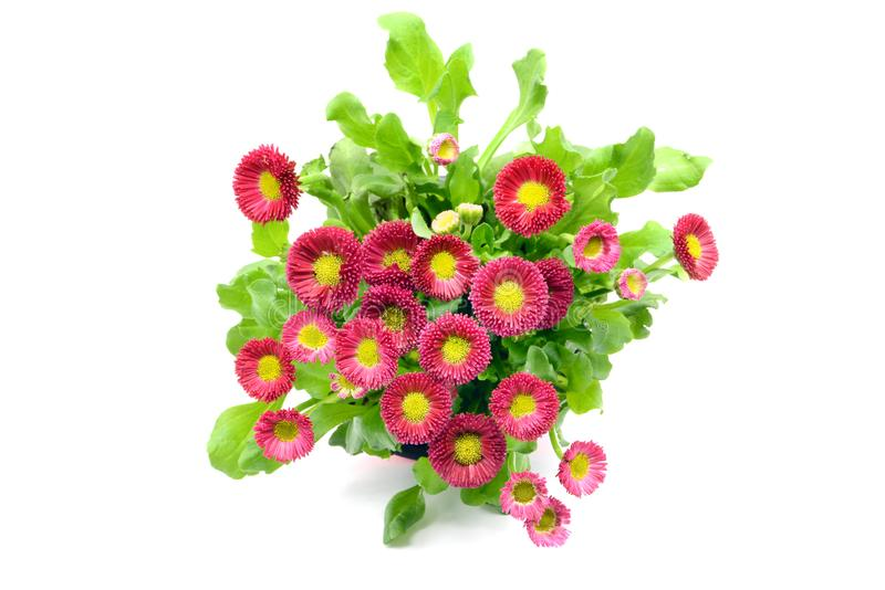 Daisy flowers Bellis perennis in flowerpot at white isolated background. top view stock photography