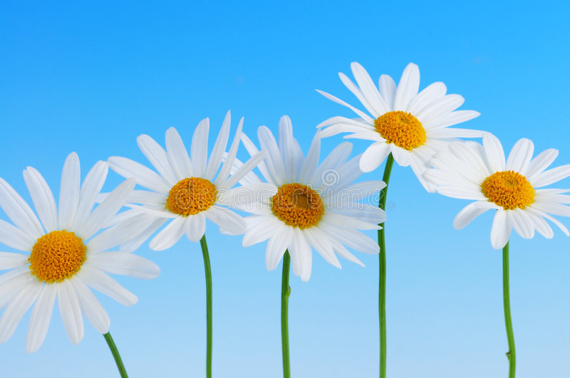 Daisy flowers on blue background royalty free stock photo