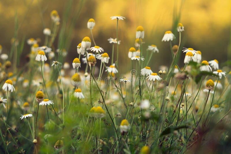 Daisy flowers / camomile stock photo