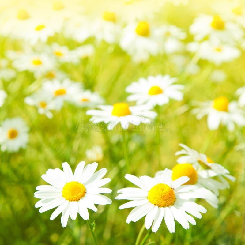 Daisy flowers stock image