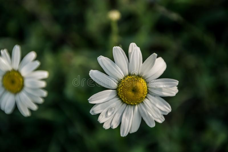 Daisy flowers. On a green grass background. Flowers with white petals and yellow pollen on a field in May royalty free stock photos