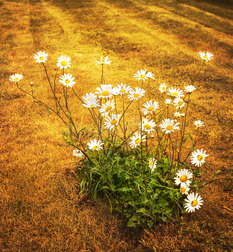 Daisy flowers on dry field stock image
