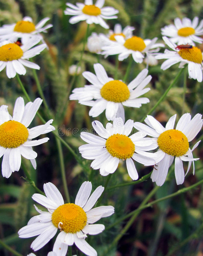Daisy Flowers In Field stock photo