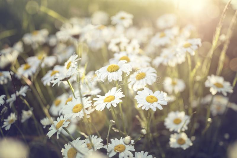 Daisy flowers in a field against the sun. Field of daisy flowers against the sun background stock image