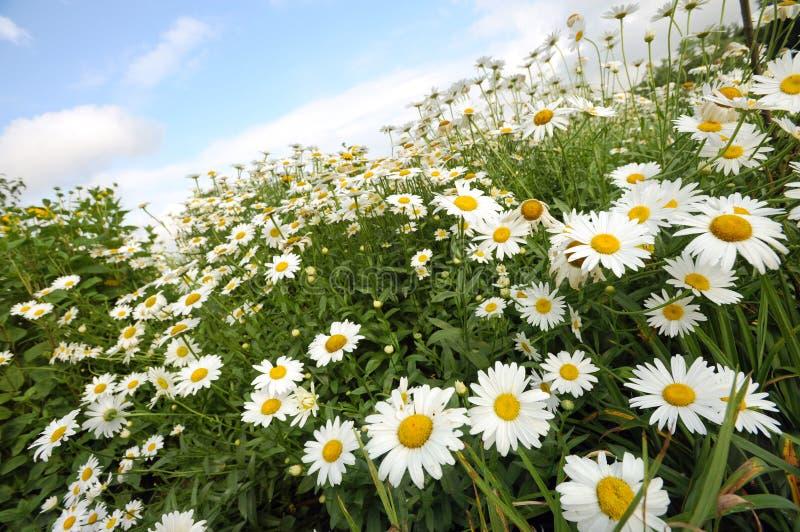 Daisy flowers field. Field of daisy flowers on the sunny day stock photos