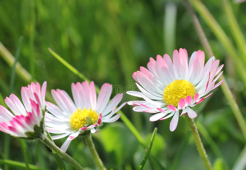 Daisy flowers in the garden. Closeup of daisy flowers in the green grass royalty free stock photos