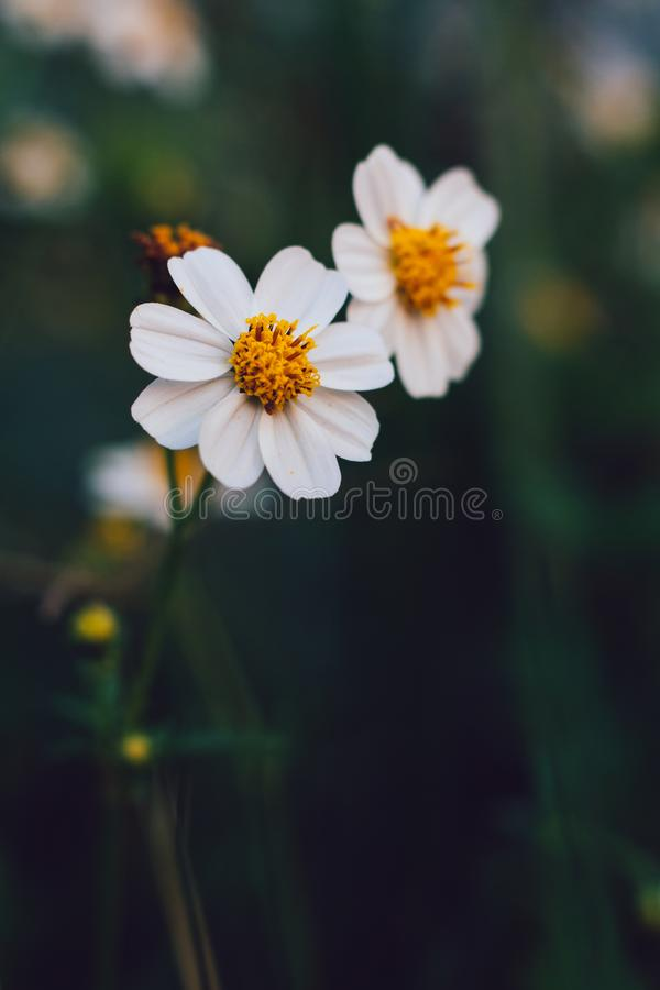 Daisy flowers in the garden. Closeup of little white daisy flowers in the garden. Vintage effect style stock photo
