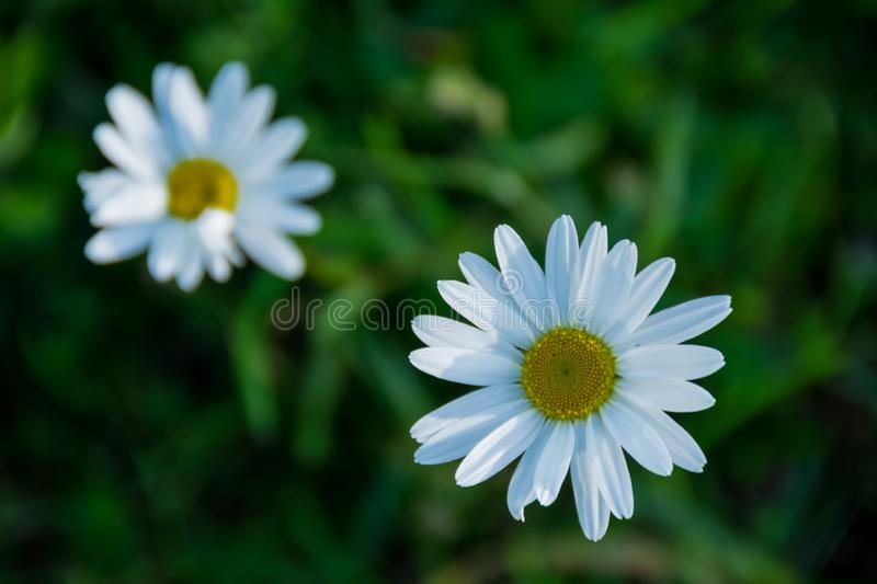 Daisy flowers on a grass. Daisy flowers on a green grass background. Flowers on a field in May royalty free stock photos